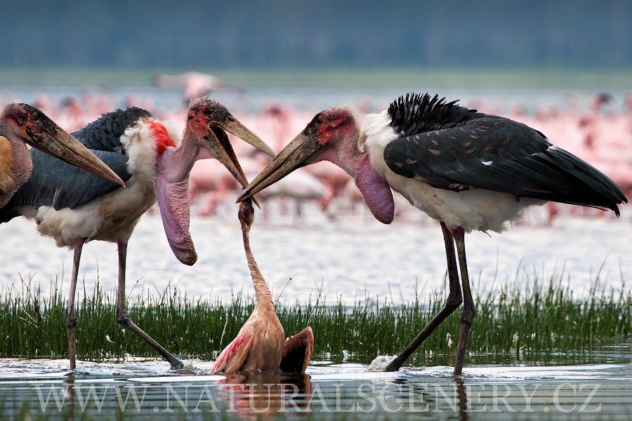 Marabu Africk 253 0009 Marabou Stork Photobank