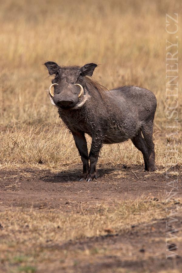 Prase bradavinat 0001 common warthog photobank naturalscenery prase bradavinat 0001 altavistaventures Choice Image
