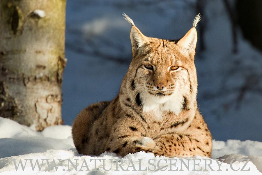 Rys Ostrovid 0009 Eurasian Lynx Photobank
