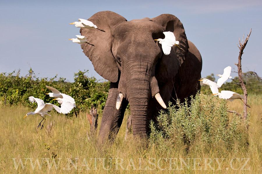 Slon Africk 253 0020 Elephant African Photobank