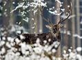 Zasněženou jelení oborou ...