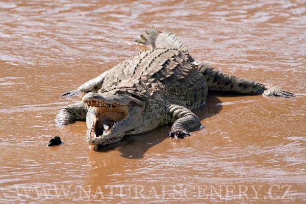 krokodýl nilský 0001