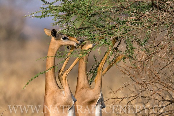 antilopa žirafí 0005