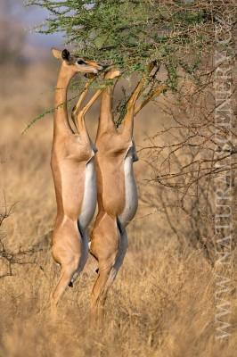 antilopa žirafí 0004