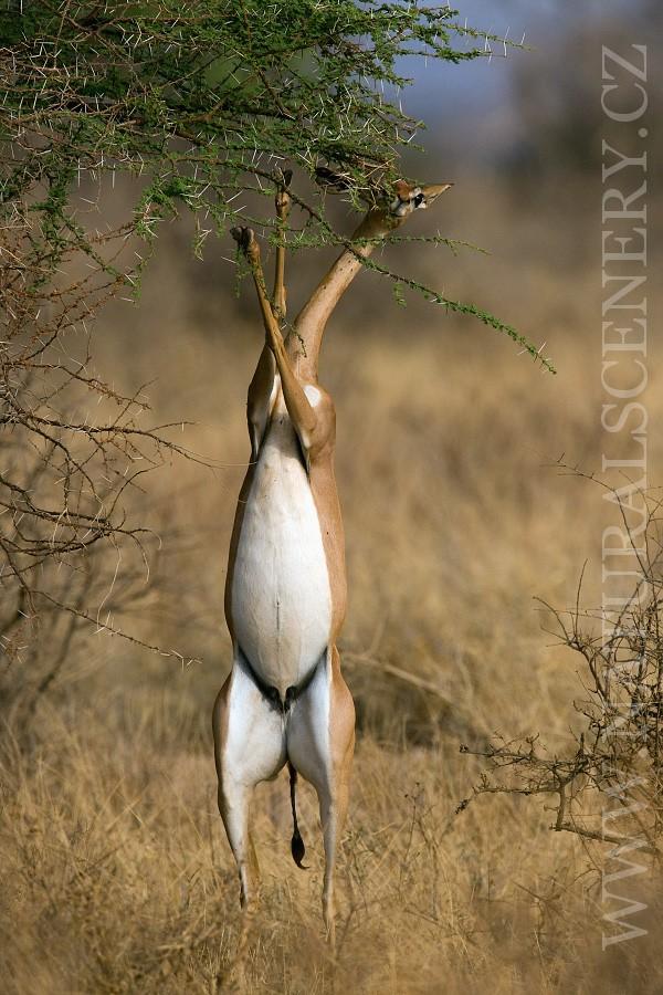 antilopa žirafí 0003
