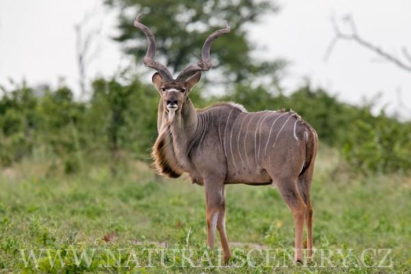 kudu velký 0003