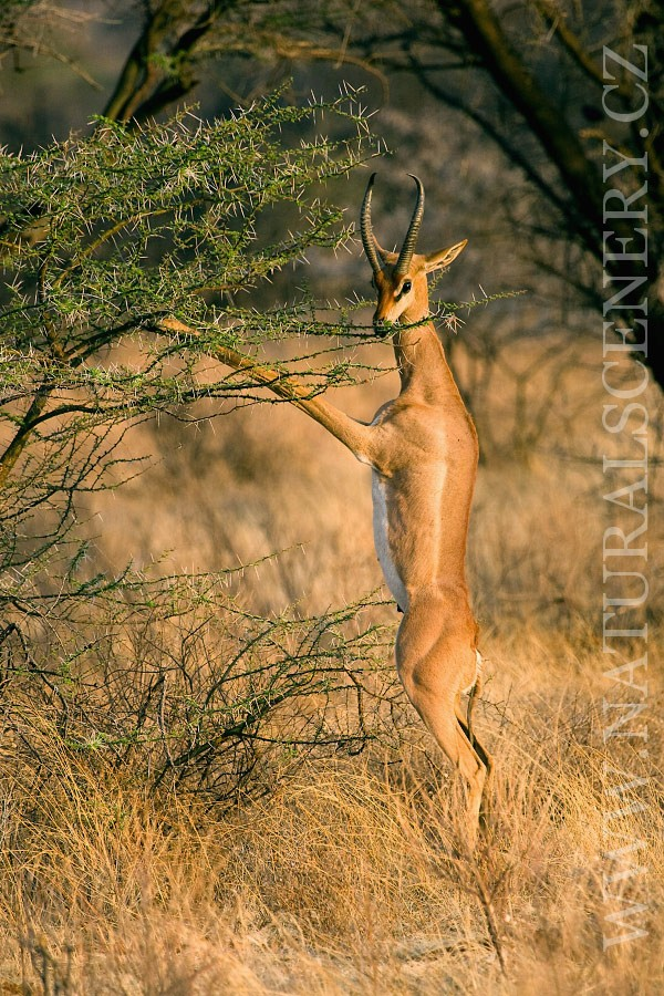 antilopa žirafí 0001