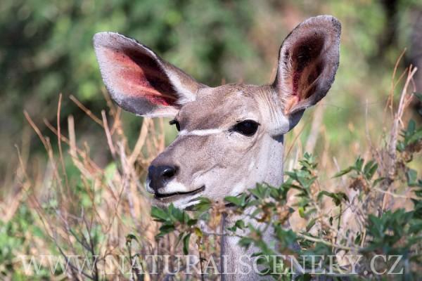 kudu velký 0014
