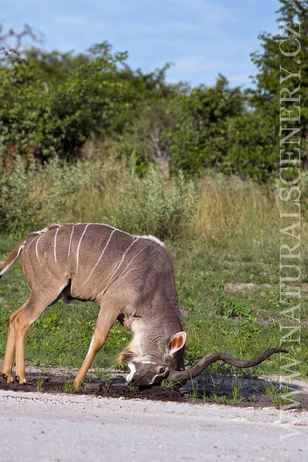kudu velký 0004