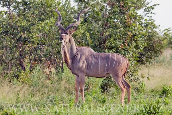 kudu velký 0002
