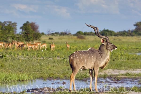 kudu velký 0012