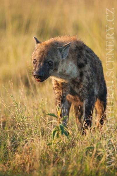 hyena skvrnitá 0011