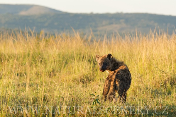 hyena skvrnitá 0005