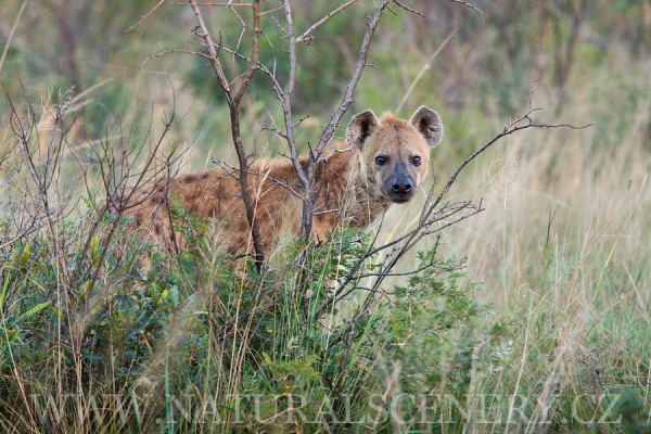 hyena skvrnitá 0002