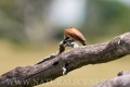 vlha núbijská (karmínová) 0004