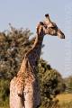 žirafa 0009