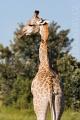 žirafa 0010