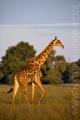 žirafa 0011