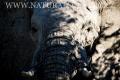 slon africký 0040