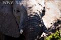 slon africký 0041
