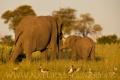 slon africký 0042