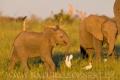 slon africký 0043