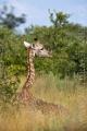 žirafa 0012