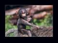 pavián babuin 0009