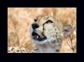 gepard štíhlý 0046