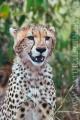 gepard štíhlý 0047