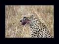 gepard štíhlý 0048