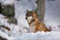 vlk obecný 0010