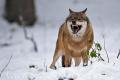 vlk obecný 0012