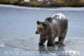 medvěd hnědý 0010