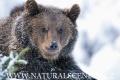 medvěd hnědý 0012