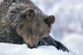 medvěd hnědý 0013