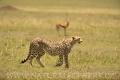 gepard štíhlý 0049