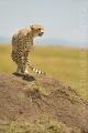 gepard štíhlý 0050