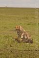 gepard štíhlý 0051