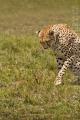 gepard štíhlý 0052