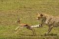 gepard štíhlý 0054