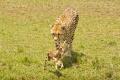 gepard štíhlý 0055