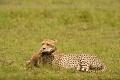 gepard štíhlý 0056