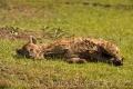 hyena skvrnitá 0012