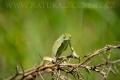 chameleon zelený 0001