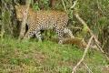 levhart africký 0007