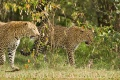 levhart africký 0009