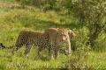 levhart africký 0010