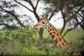 žirafa 0031