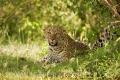 levhart africký 0011
